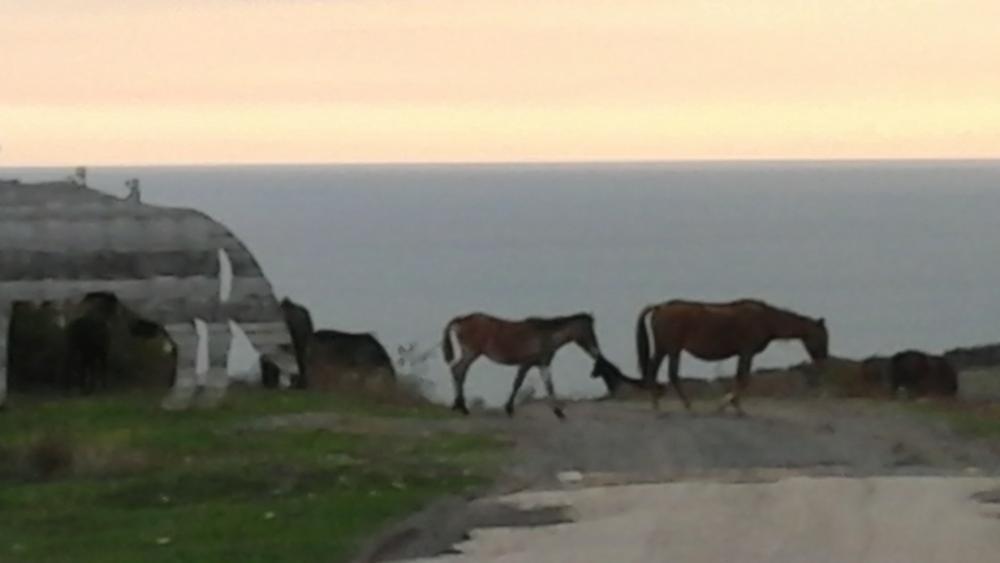 Wild horses, Black sea coast North of Varna